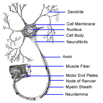 central nervous system labeled diagram of a book report motor neuron - the school biomedical sciences wiki