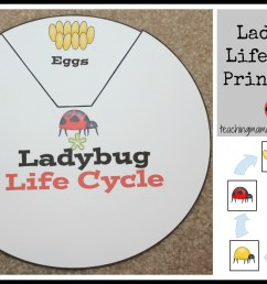 Ladybug Life Cycle Printables \u0026 Activities [ 1398 x 2050 Pixel ]