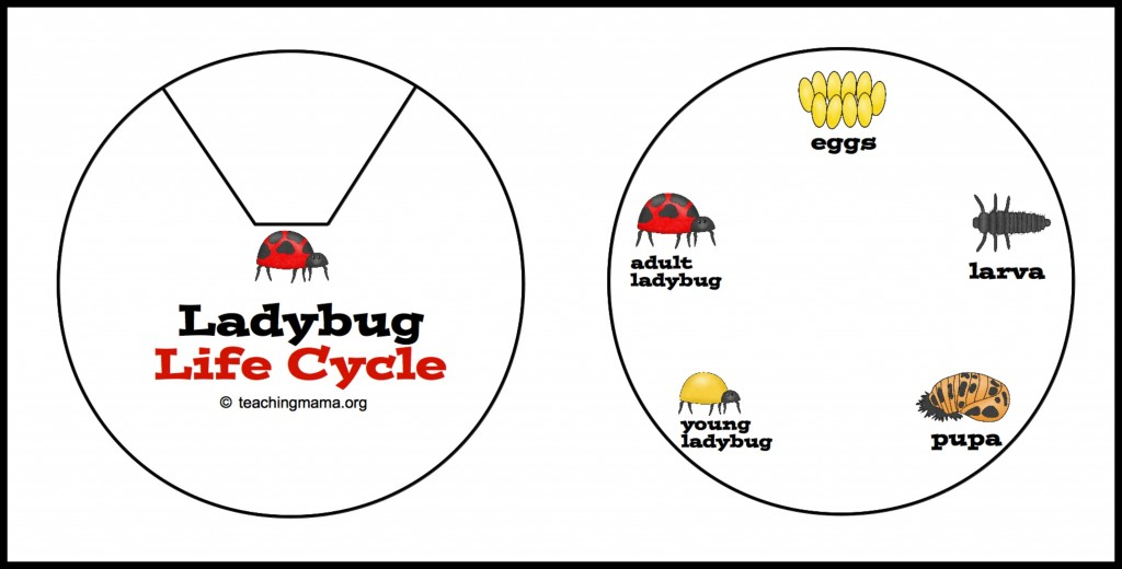 lady bug life cycle coloring pages