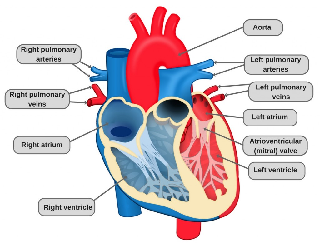 Heart Diagram With Labels And Functions