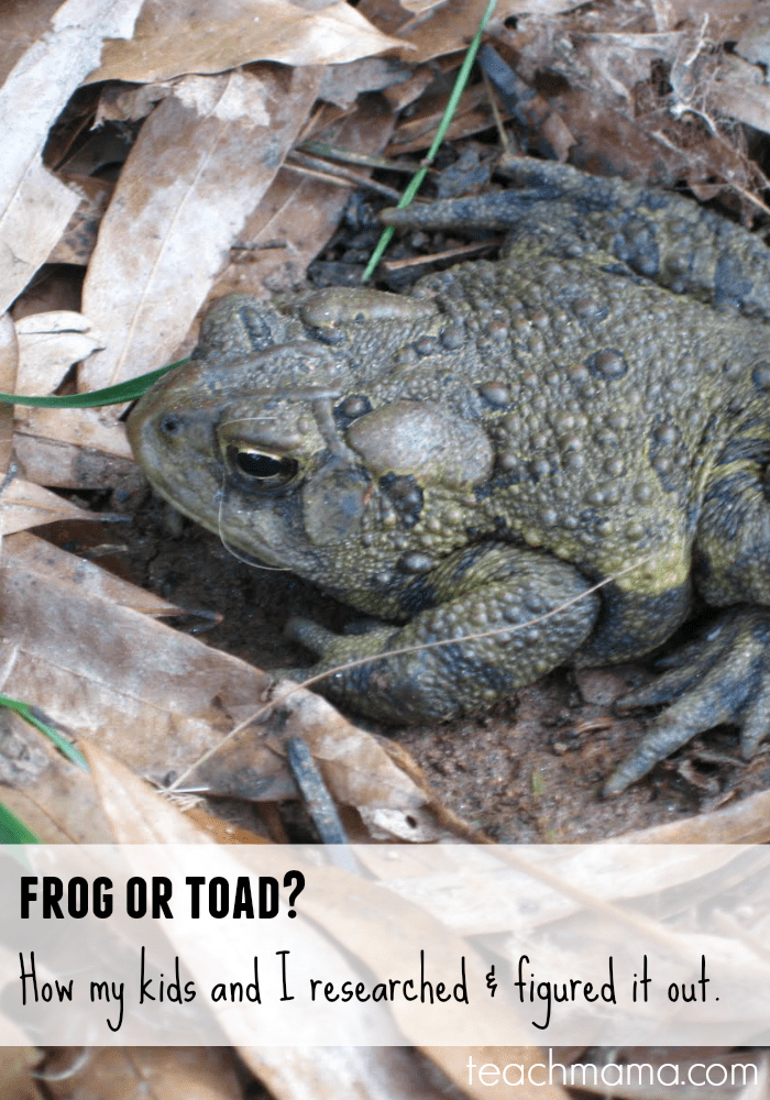 frog or toad: how we researched and figured it out | teachmama.com