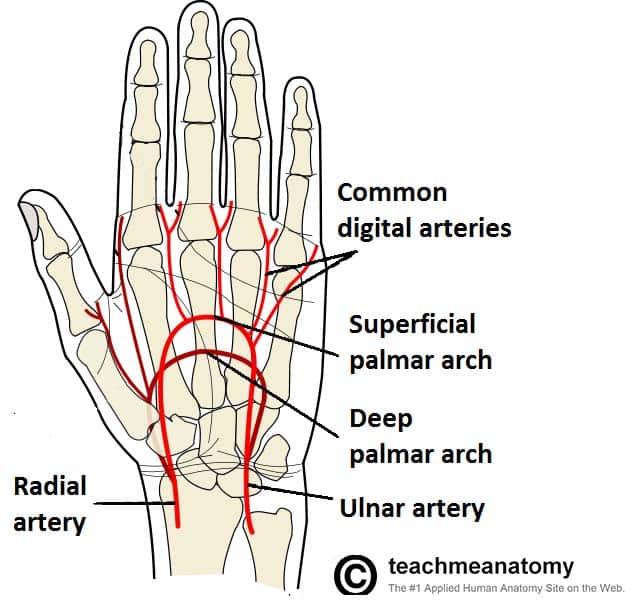 Dorsal Wrist Surface