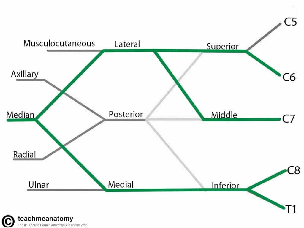 diagram of sciatic nerve pathway western saddle path structure elsavadorla