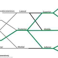 Radial Nerve Diagram Fisher Plow Wiring Minute Mount 2 Week Anatomy Erexam