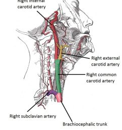 fig 1 1 lateral vein of the neck showing the origin and bifurcation of the common carotid artery  [ 829 x 1024 Pixel ]
