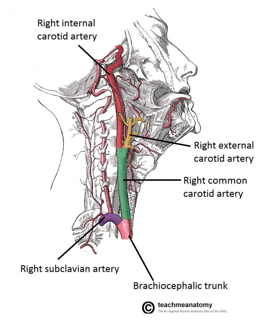 medium resolution of fig 1 1 lateral vein of the neck showing the origin and bifurcation of the common carotid artery