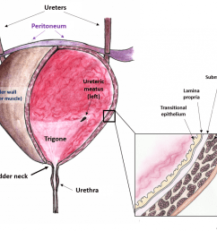 fig 2 anatomical features of the bladder  [ 1024 x 821 Pixel ]