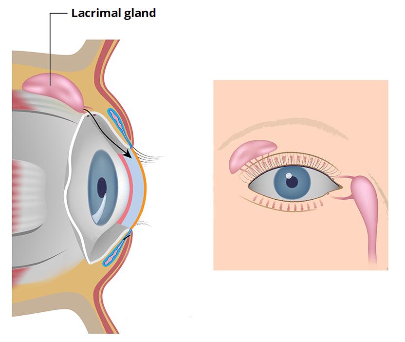 The Eye - TeachMeAnatomy