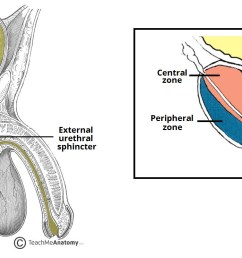 fig 2 the anatomical position and zones of the prostate  [ 1662 x 744 Pixel ]
