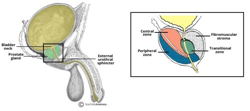small resolution of fig 2 the anatomical position and zones of the prostate