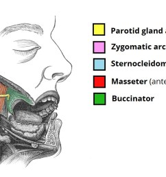 simple diagram of the salivary gland [ 1500 x 724 Pixel ]