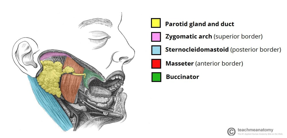 medium resolution of fig 1 0 position of the parotid gland and borders of the parotid region