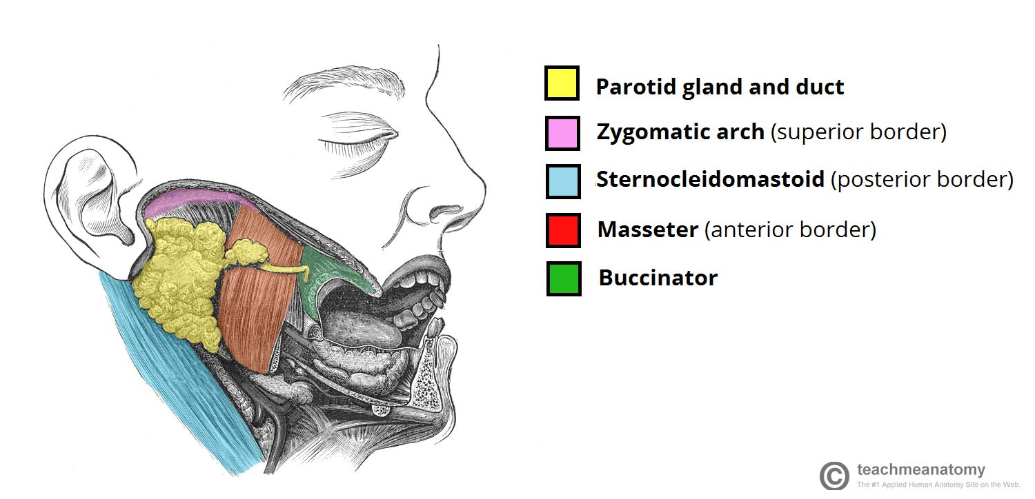hight resolution of simple diagram of the salivary gland