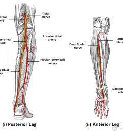 fig 3 arterial supply to the anterior and posterior leg is via the popliteal artery and its branches  [ 1174 x 999 Pixel ]