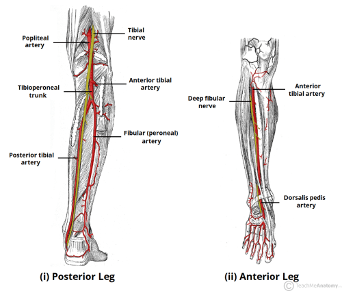 small resolution of fig 3 arterial supply to the anterior and posterior leg is via the popliteal artery and its branches
