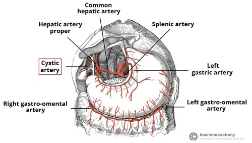 small resolution of fig 4 arterial supply to the gallbladder view the cystic artery