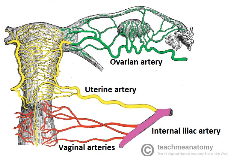 Dog Ligaments Uterus And Ovary