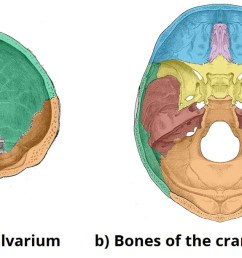 fig 1 bones of the calvarium and cranial base  [ 1428 x 612 Pixel ]