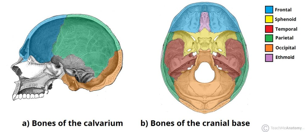 medium resolution of fig 1 bones of the calvarium and cranial base