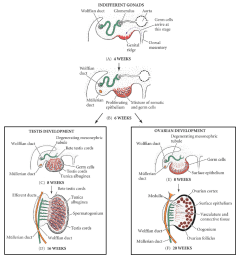 fig 1 development of the male and female gonad from the indifferent gonad  [ 1100 x 1180 Pixel ]