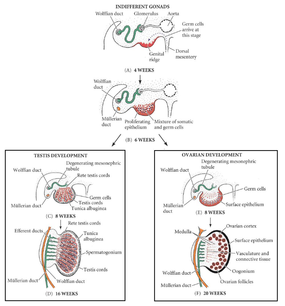 medium resolution of fig 1 development of the male and female gonad from the indifferent gonad