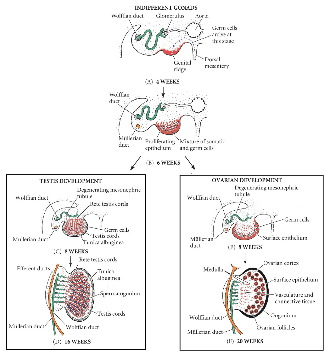 hight resolution of fig 1 development of the male and female gonad from the indifferent gonad