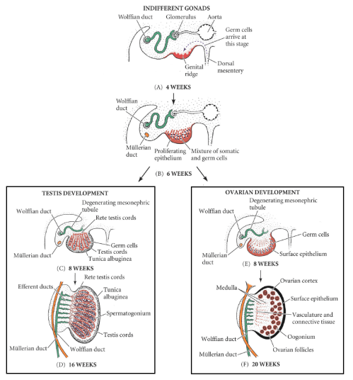 small resolution of fig 1 development of the male and female gonad from the indifferent gonad