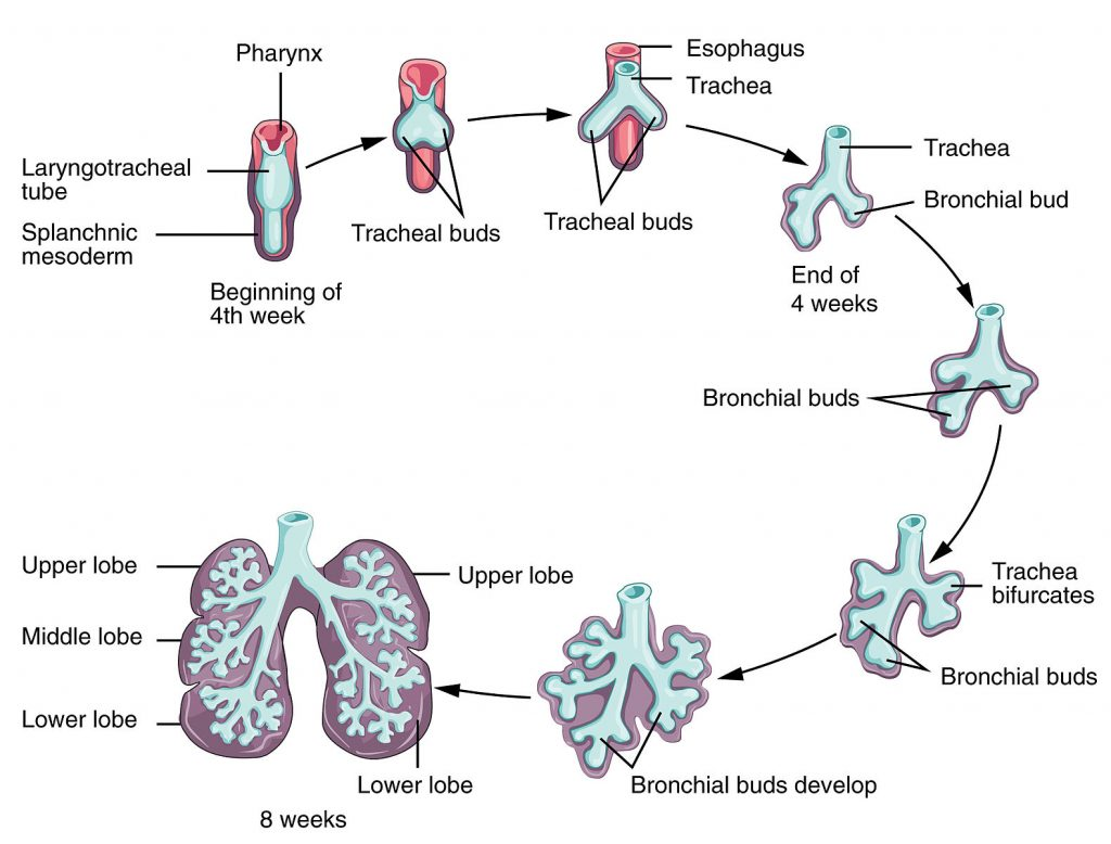 hight resolution of fig 1 initial development of the lower respiratory tract