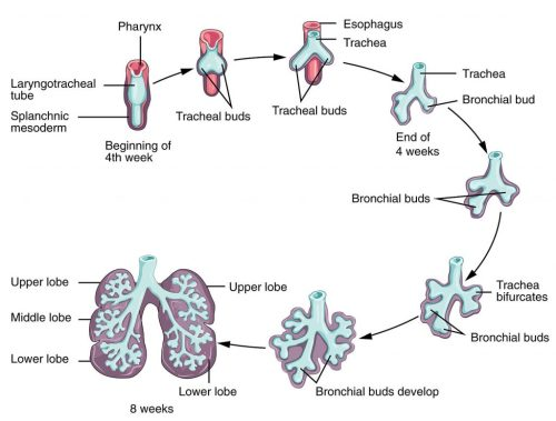 small resolution of fig 1 initial development of the lower respiratory tract