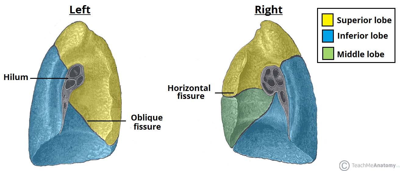 The Lungs - Position - Structure - TeachMeAnatomy