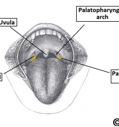 fig 2 location of the palatine tonsils in the oropharynx [ 1192 x 696 Pixel ]