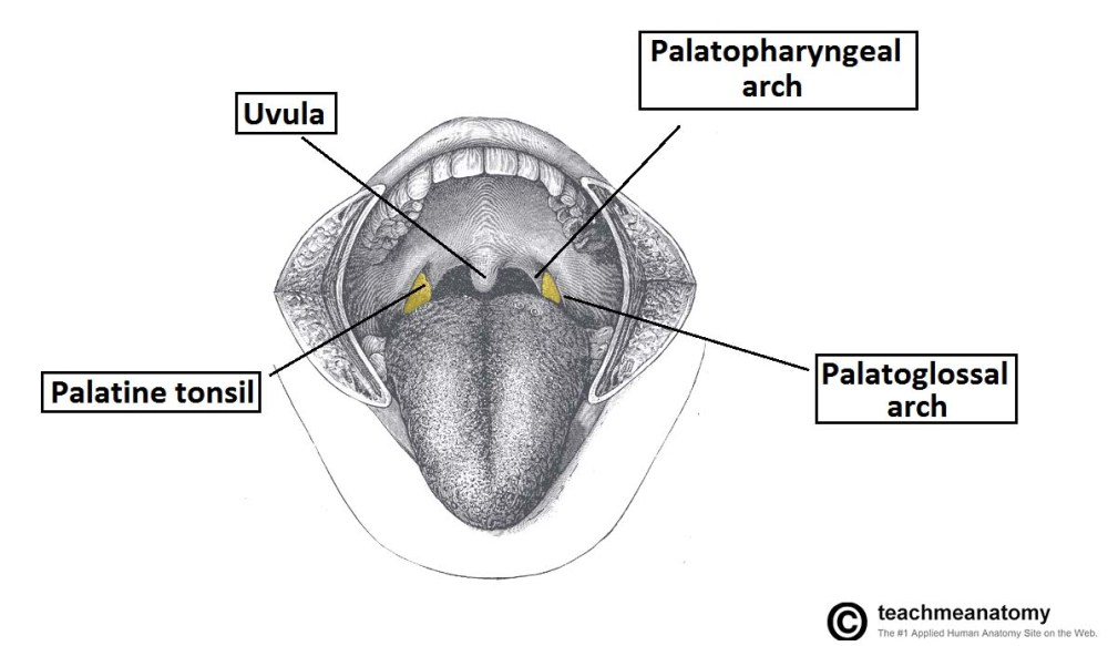 medium resolution of fig 2 location of the palatine tonsils in the oropharynx