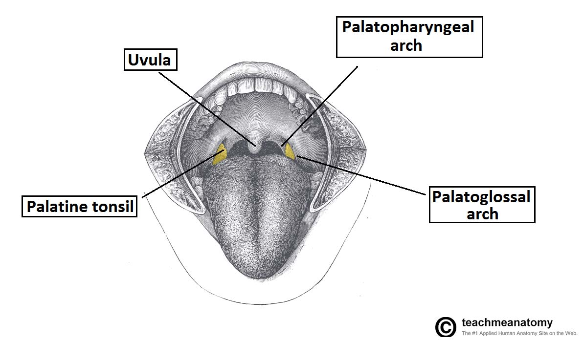 hight resolution of fig 2 location of the palatine tonsils in the oropharynx