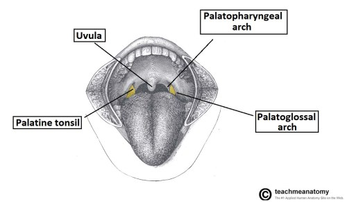 small resolution of fig 2 location of the palatine tonsils in the oropharynx