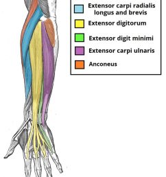 fig 1 0 the muscles in the superficial layer of the posterior forearm  [ 824 x 1024 Pixel ]