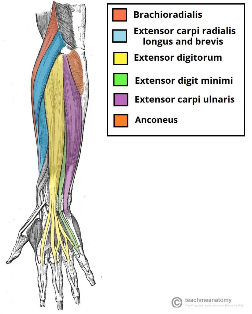medium resolution of fig 1 0 the muscles in the superficial layer of the posterior forearm