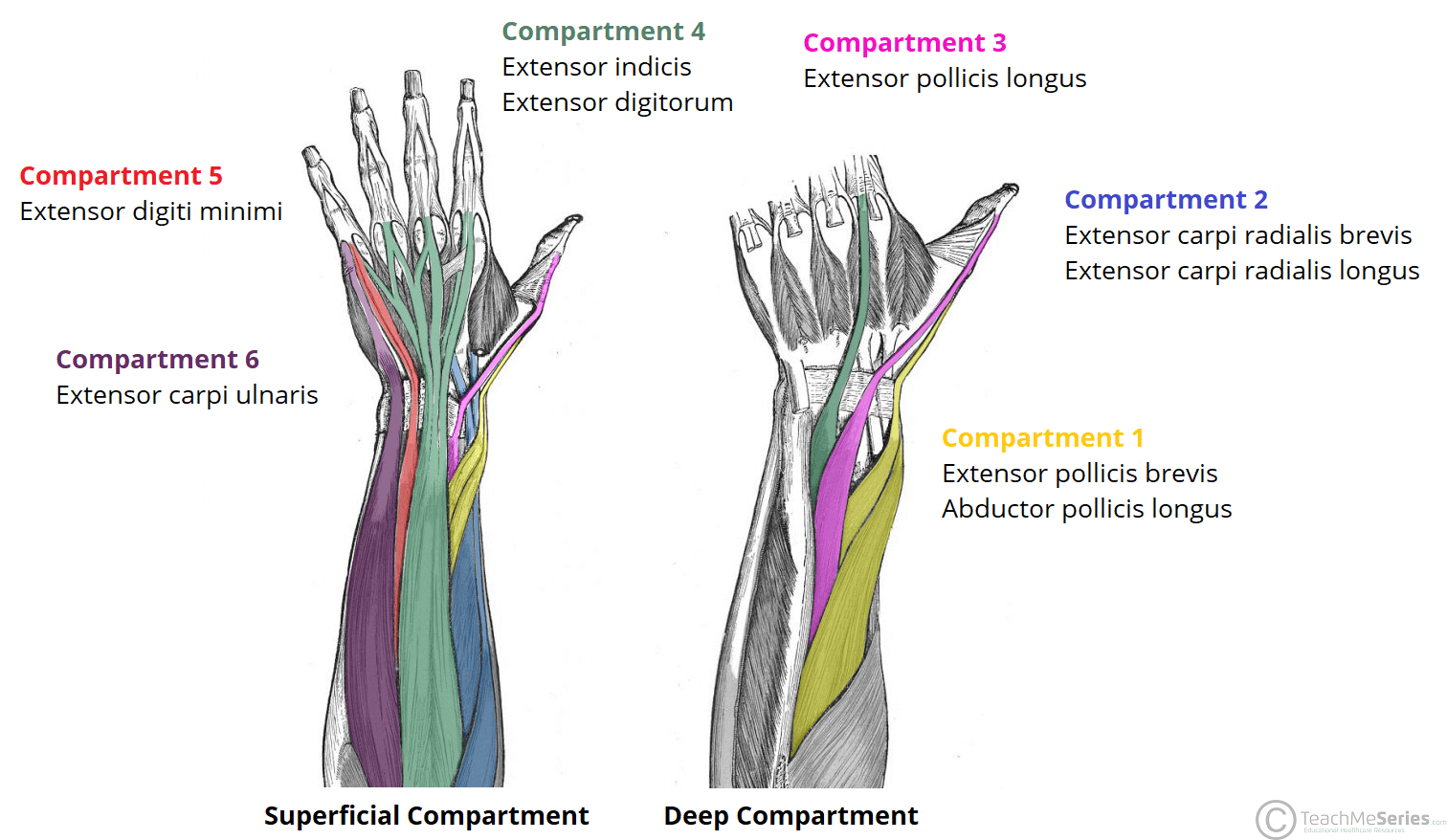 The Extensor Compartments Of The Wrist
