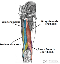 fig 1 the muscles of the posterior thigh right  [ 1048 x 1032 Pixel ]