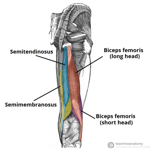 small resolution of fig 1 the muscles of the posterior thigh right