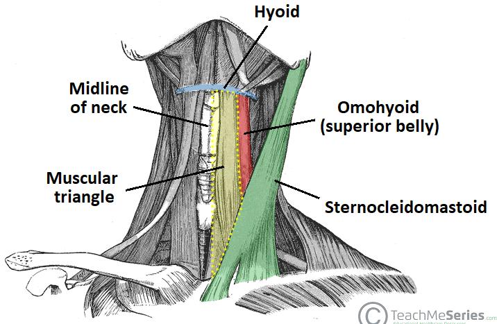 Anterior Triangle of the Neck - Subdivisions - TeachMeAnatomy