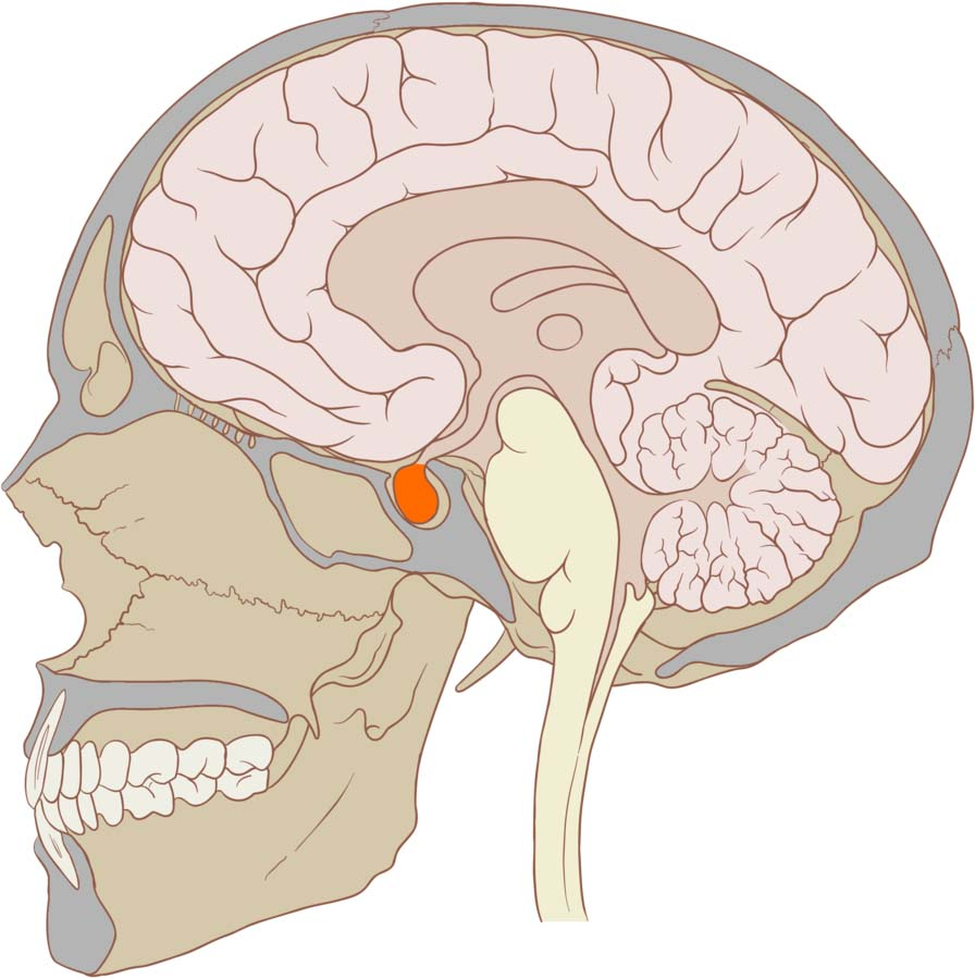 hight resolution of fig 1 0 the pituitary gland