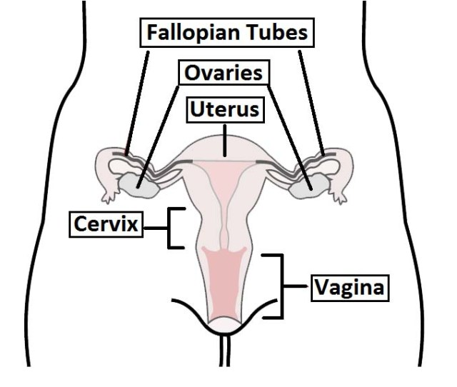 Fig 1 Overview Of The Female Reproductive Tract