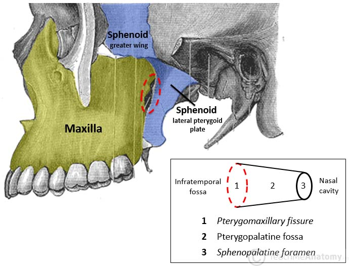 Image result for pterygopalatine fossa boundaries