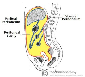 The Peritoneal Cavity  Greater Sac  Lesser Sac