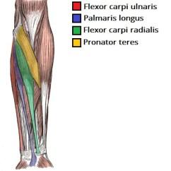 Blank Humerus Diagram Communism Vs Socialism Venn Muscles Of The Anterior Forearm - Flexion Pronation Teachmeanatomy