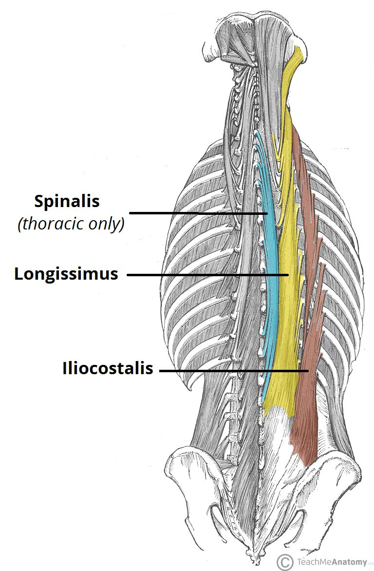 medium resolution of the intrinsic back muscles