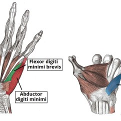 Palmar Hand Muscle Anatomy Diagram What Muscles Do Pull Ups Work The Of Thenar Hypothenar Teachmeanatomy