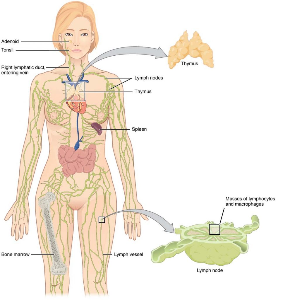where are my lymph nodes diagram vagus nerve the lymphatic system vessels organs teachmeanatomy fig 1 overview of it contains lymphoid and fluid