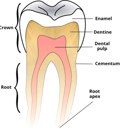 fig 2 tooth structure the anatomic crown is covered by enamel whilst the anatomic root is covered by cementum  [ 966 x 1000 Pixel ]