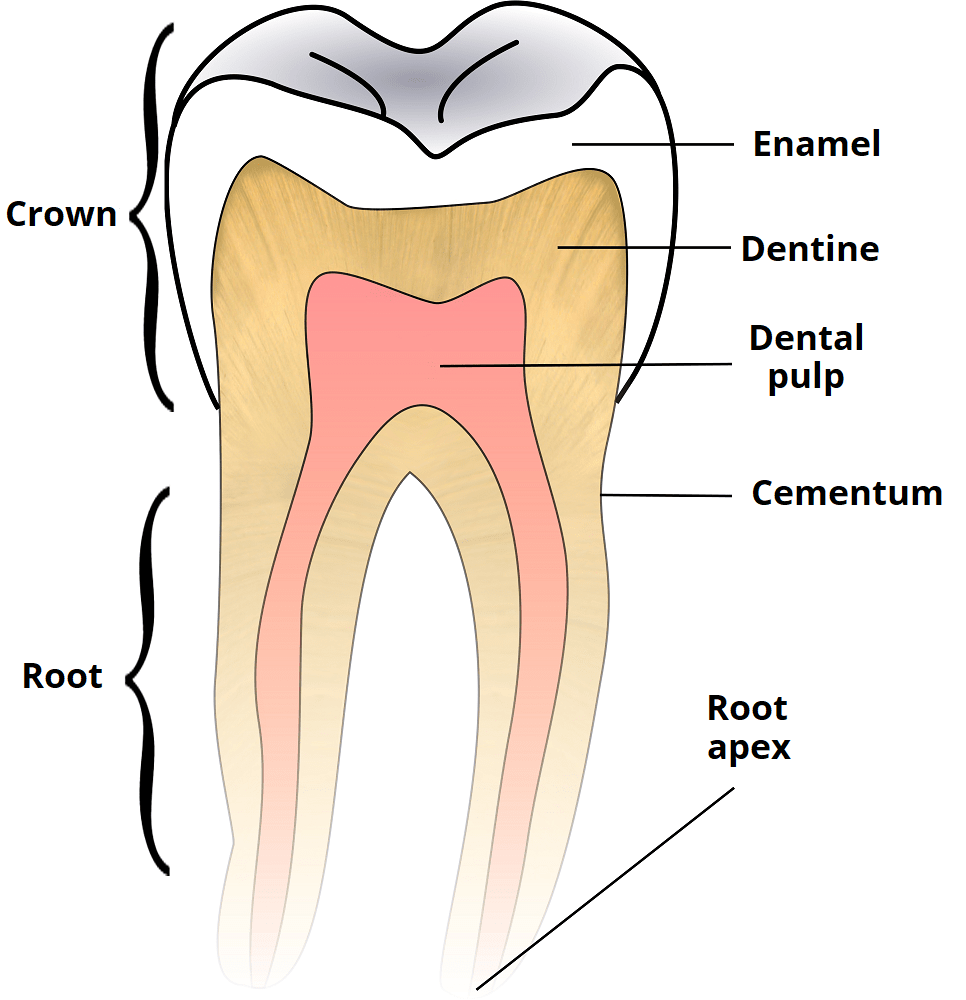 medium resolution of fig 2 tooth structure the anatomic crown is covered by enamel whilst the anatomic root is covered by cementum